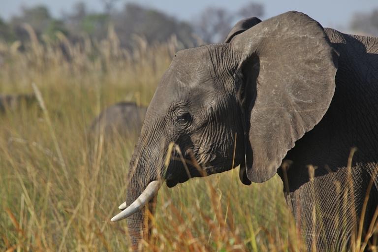 Elefant im Moremi