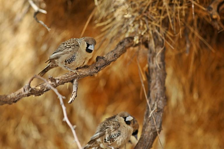 Webervögel im Bush Camp der Mesosaurus Fossil Site