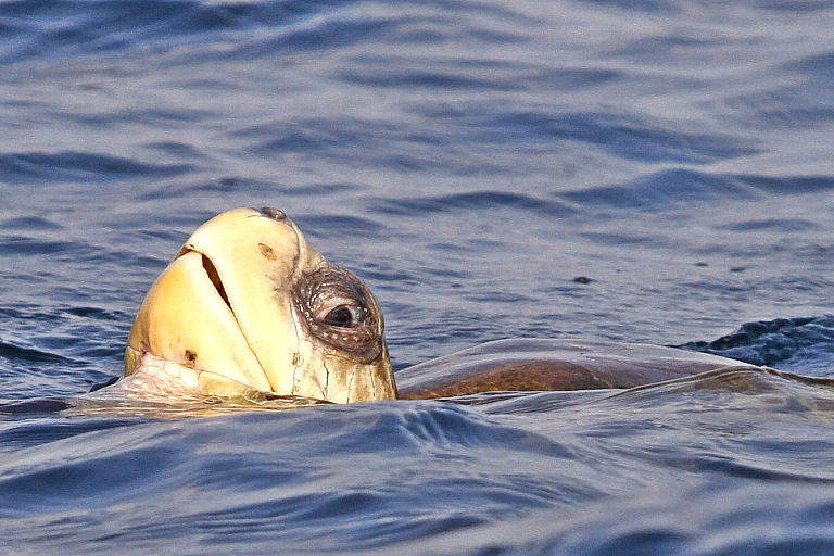 Meeresschildkröte im Wasser bei Ostional in Costa Rica