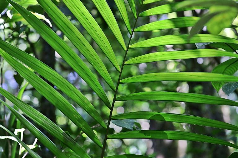 Palmwedel im Gegenlicht im Curi Cancha Reservat in Costa Rica