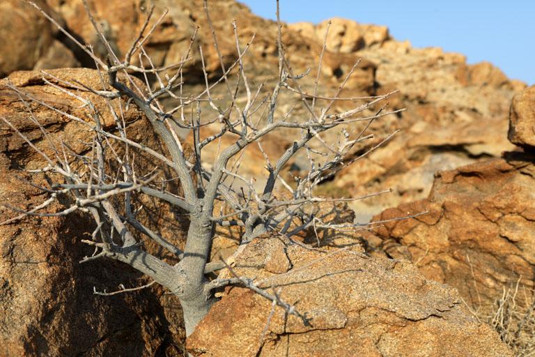 kahler Baum in MIrabib, Namibia