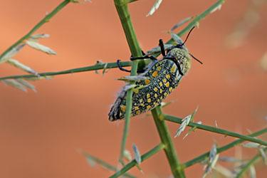 Käfer im NamibRand Nature Reserve, Family Hideout, Namibia