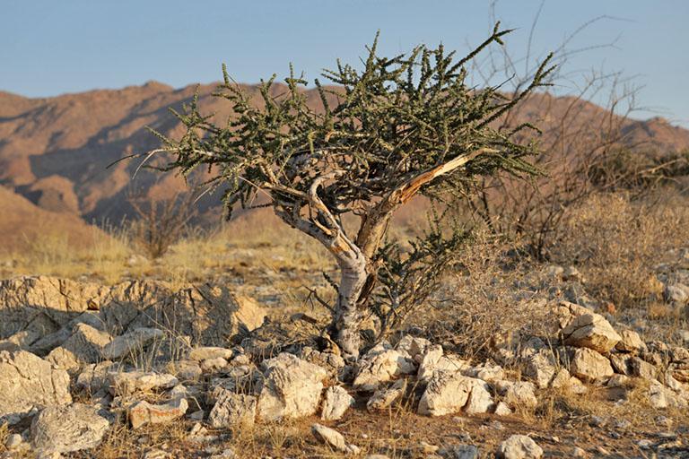 kleiner Baum auf Camp Gecko, Namibia