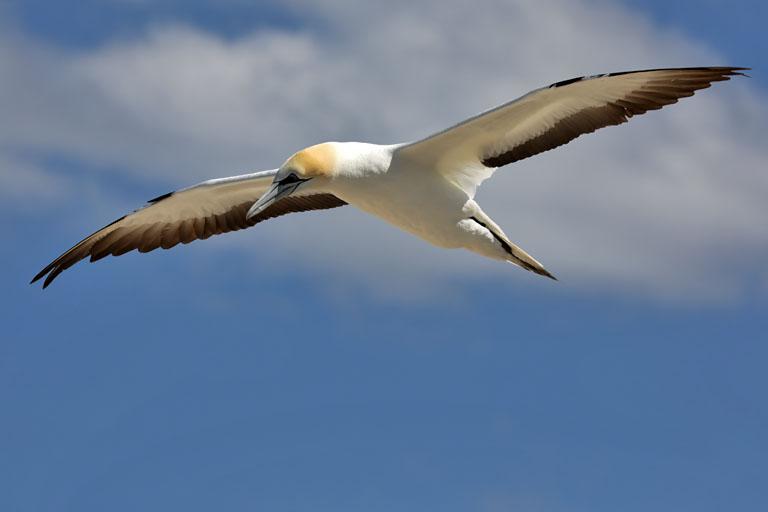fliegender Tölpel am Cape Kidnappers, Neuseeland