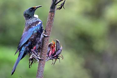 männlicher Tui im Pukaha Mount Bruce Wildlife Center, Neuseeland