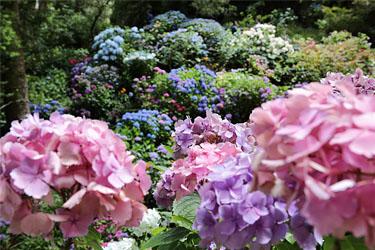 Hortensienpracht im Botanischen Garten von Wellington, Neuseeland
