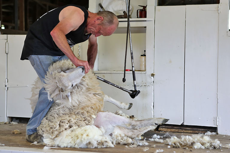 sheep shearing show, Schafscheren in Kaikora, Neuseeland