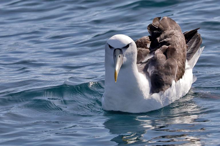 Albatros während einer Whale Watching Tour in Kaikoura, Neuseeland