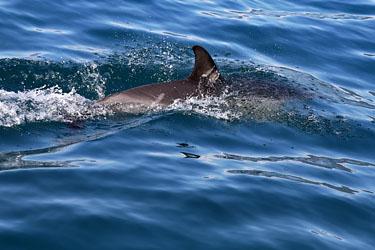 Delfin während einer Whale Watching Tour, Kaikoura, Neuseeland