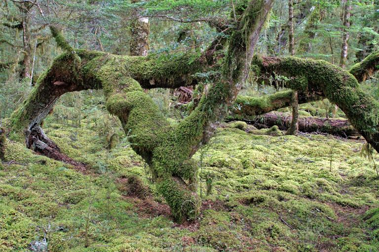 vermooster farnwald, te anau, neuseeland