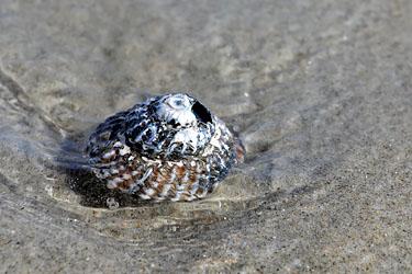 schneckengehäuse am strand bei brighton, cairnlea by the sea, neuseeland