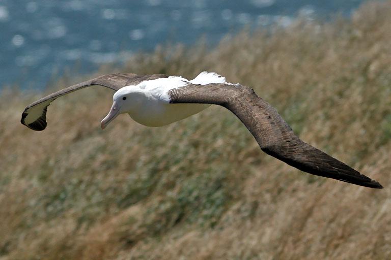 fliegender königsalbatros, otago-halbinsel, neuseeland