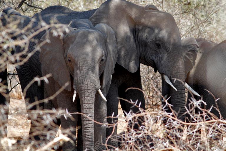 Elefanten im Mahango National Park, Namibia