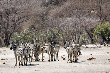 Zebras im Mahango National Park, Namibia