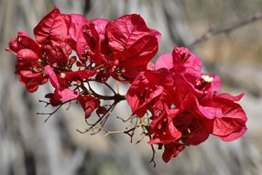 rote blüten, maun rest camp, botswana