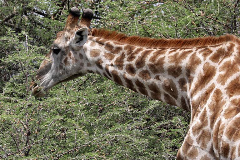 Giraffe im Moremi National Park, Botswana