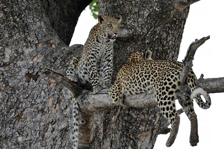 junge Leoparden im Moremi, Botswana
