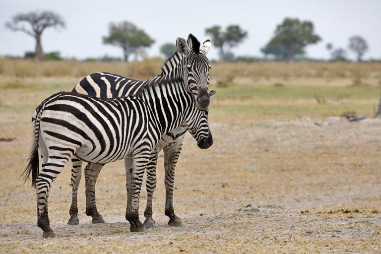 Zebras im Moremi, Botswana