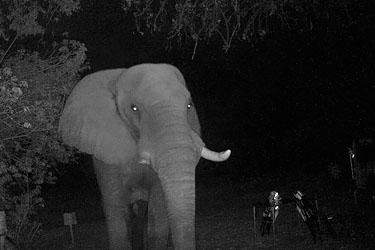 Elefant bei Nacht auf der Campsite, Wildkamera, Moremi, Botswana