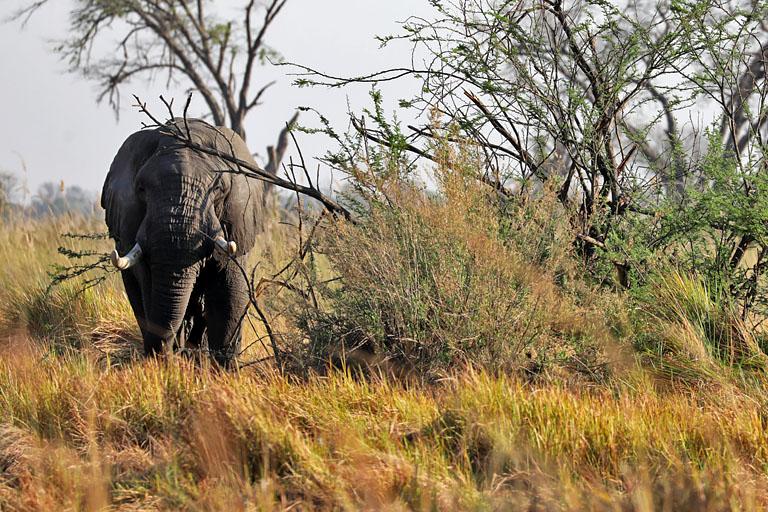 Elefant im Moremi, Botswana