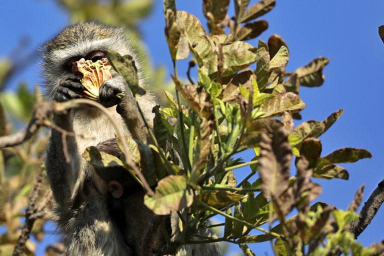 Meerkatze frisst Wurstbaumblüten, Moremi, Botswana